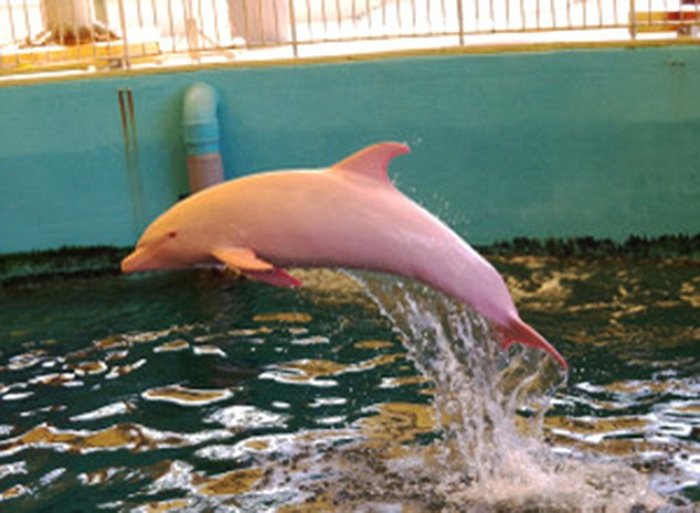 "Pic shows: The rare albino dolphin that has no colouration apart from a tendency to turn pink when feeling flushed. A rare albino dolphin which can go from white to pink when it's feeling flushed is pulling in the crowds at a water park in Japan. Although bottlenose dolphins are usually grey, this extremely rare albino dolphin that was captured in January last year is an albino and has no colouration – apart from a tendency to turn pink when feeling flushed. It means education pictures show the animal white, and occasionally pink when swimming along regular coloured grey dolphins. Albino mammals are born without melanin, which gives the colour to both eyes and skin, and albino dolphins are extremely rare. In fact this specimen is believed to be only the second one ever put on display in an aquarium after it was purchased from fishermen. And they may well have been doing the animal a favour, as albinos are easy prey out at sea as they lack the colouration to blend in like their grey coloured relatives. Experts said that it was remarkable that the animal had actually lived so long before ending up at the Taiji Whale Museum. In addition, the colouration guaranteed it was worth far more to sell to an aquarium than to eat after it was caught off the coast of Japan during a controversial annual dolphin hunt in Taiji made notorious by the 2009 Oscar-winning documentary ""The Cove,"" which shows fishermen herding dolphins into a cove either to be captured for aquarium display or killed for meat. Japan's Wakayama Prefecture, which includes Taiji, reported that 1,218 dolphins and small whales were captured there in 2011, though it didn't specify how many of those captured were killed. But the rare albino was one that did survive and indeed has become the subject of a detailed study by the Tokyo University of Marine Science and Technology and the Institute of Cetacean Research that published a paper about the albino dolphin in Mammal Study in March 2015. (ends)"